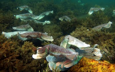 Download petition to protect the Giant Cuttlefish